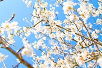4IS_aozoratoshiroisakura500.jpg